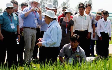 Promueven producción de arroz según estándares internacionales - ảnh 1