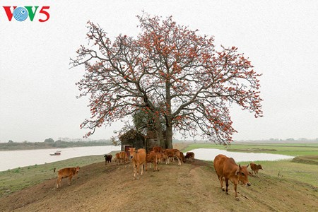 Brilla el color rojo del algodonero en campo norteño de Vietnam - ảnh 2