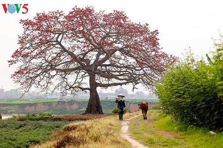 Brilla el color rojo del algodonero en campo norteño de Vietnam - ảnh 13