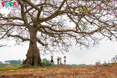Brilla el color rojo del algodonero en campo norteño de Vietnam - ảnh 16