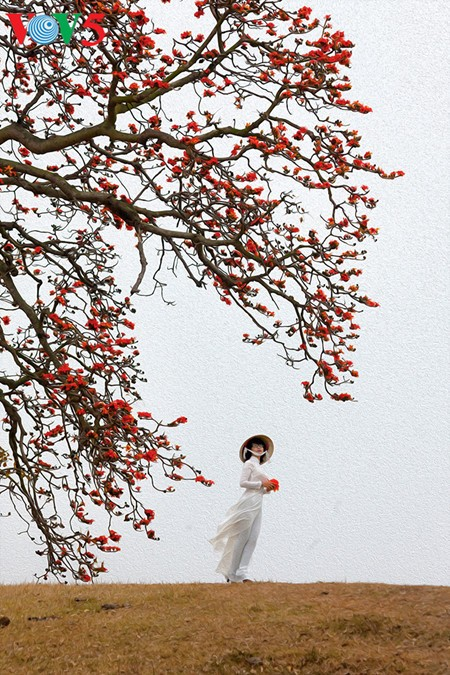 Brilla el color rojo del algodonero en campo norteño de Vietnam - ảnh 4