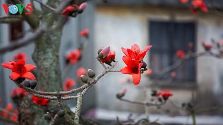 Brilla el color rojo del algodonero en campo norteño de Vietnam - ảnh 6