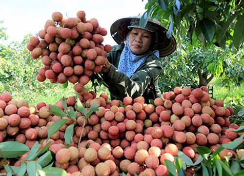 Ekspor buah leci dan kesempatan untuk ekspor hasil pertanian Vietnam - ảnh 1