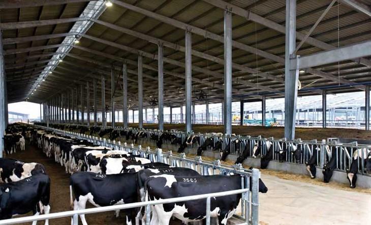 Memperkenalkan sepintas lintas tentang peternakan sapi perah Vietnam - ảnh 2