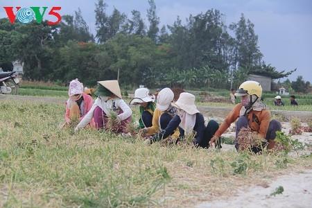 Usaha pemanaman bawang merah dan bawang putih di kabupaten pulau Ly Son, provinsi Quang Ngai - ảnh 1