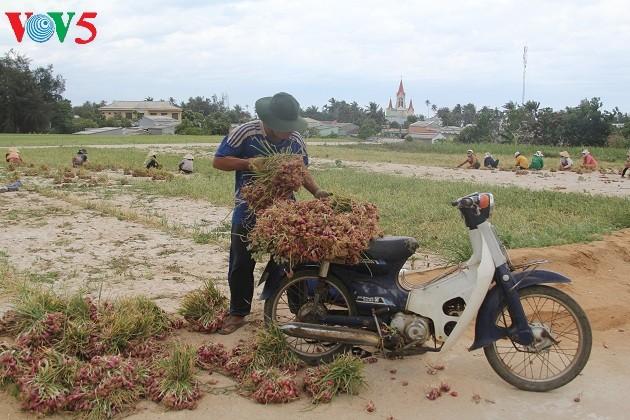 Kehidupan sehari hari di kabupaten pulau Ly Son - ảnh 13
