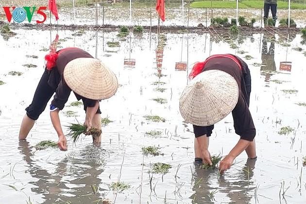 Pesta Turun ke Sawah yang khas dari warga Kotamadya Quang Yen, Propinsi Quang Ninh - ảnh 3
