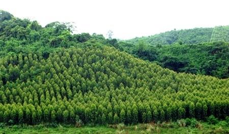 VOV5 memperkenalkan selintas lintas tentang hutan produksi di Vietnam - ảnh 1