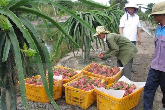 澳大利亚开始考虑进口越南新鲜火龙果 - ảnh 1