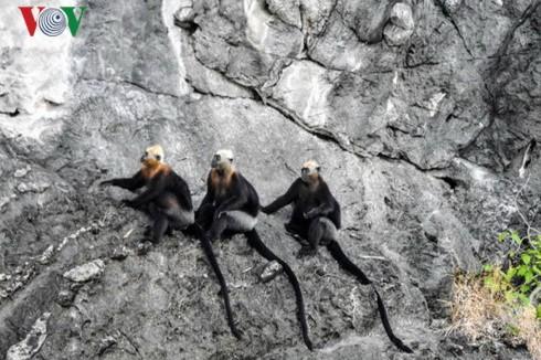 吉婆岛上的叶猴守护者 - ảnh 1