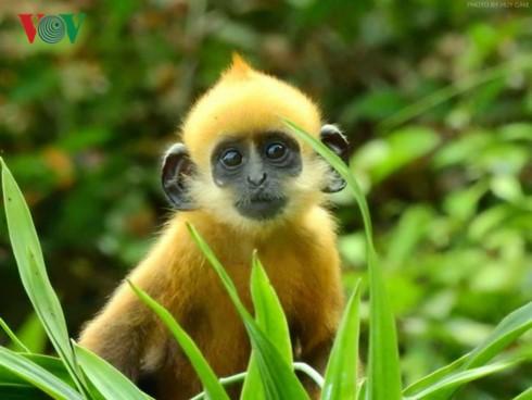 吉婆岛上的叶猴守护者 - ảnh 2