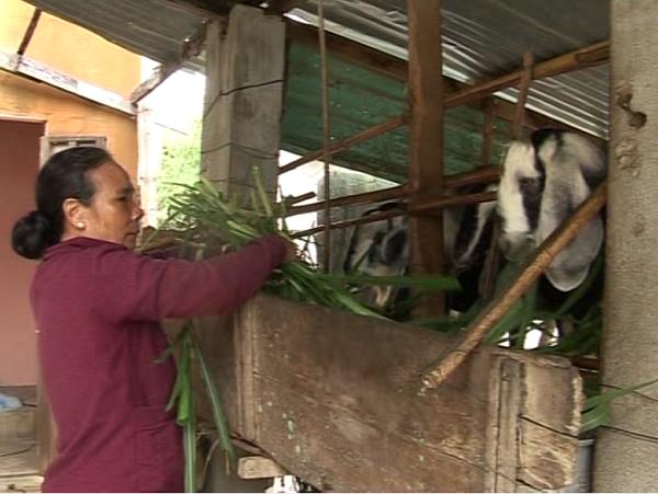 靠山羊圈养脱贫致富的妇女——黎氏金鸾 - ảnh 2