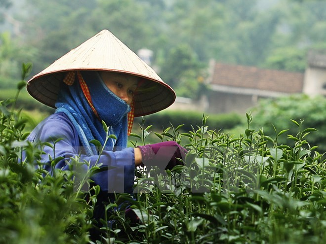 Festival to honor traditional tea planting  - ảnh 1