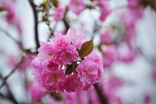 Sắp diễn ra Lễ hội Hoa anh đào tại Đồng Nai - ảnh 1