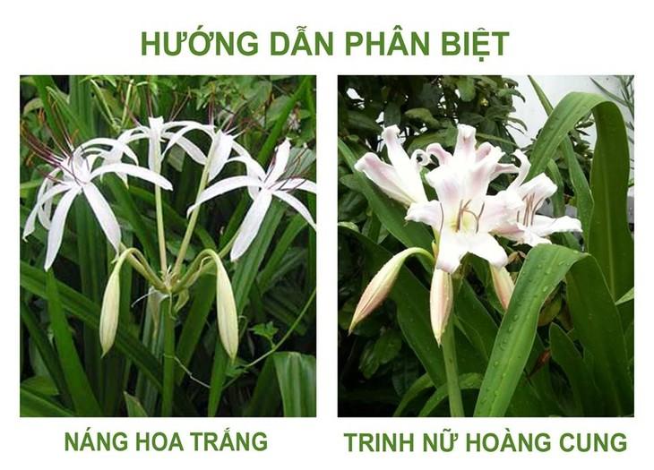 Phân biệt giữa cây trinh nữ hoàng cung và các cây thuộc họ náng khác - ảnh 1