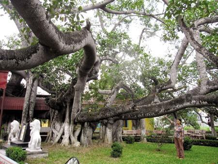 รับรองต้นมะม่วง 20 ต้นในวัดตื่อกวางและต้นไทรที่นครไฮฟองเป็นต้นไม้มรดกเวียดนาม - ảnh 2