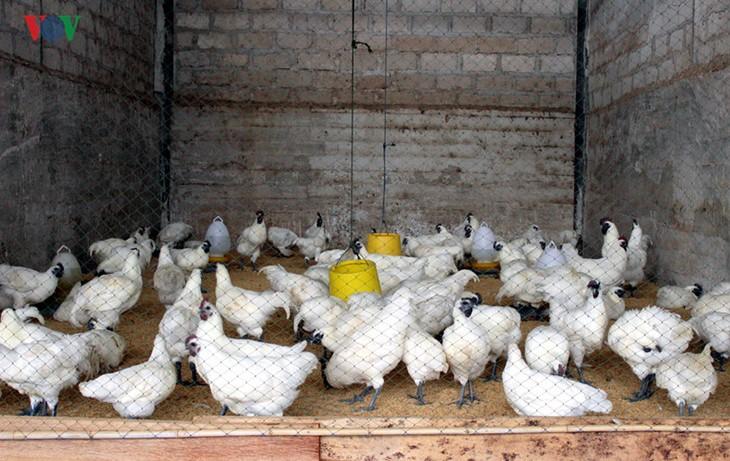 การเลี้ยงไก่ดำสมุนไพร - มาตรการแก้ปัญหาภัยแล้งของชาวบ้านเชิงหวาย - ảnh 1