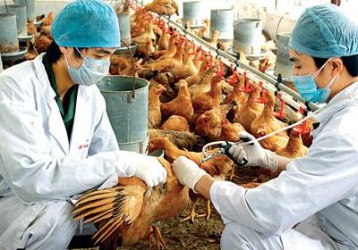 สหประชาชาติช่วยเหลือเวียดนามรับมือกับการแพร่ระบาดของโรคไข้หวัดนก - ảnh 1
