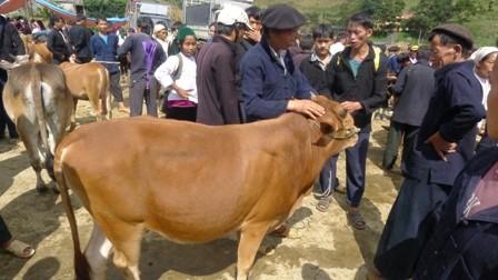 ตลาดนัดวัวแหม่วหวาก - ảnh 1