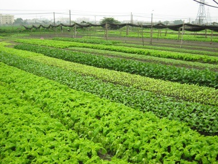 Using smart phone in cultivating vegetables  - ảnh 1