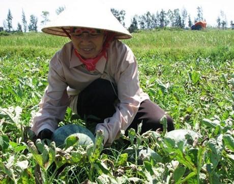 รูปแบบทุ่งนาขนาดใหญ่ในจังหวัดกว๋างบิ่งสร้างประสิทธิภาพในการผลิตการเกษตร - ảnh 2