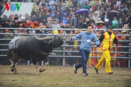 คึกคัดเทศกาลแข่งกระบือครั้งแรกในกรุงฮานอย - ảnh 2