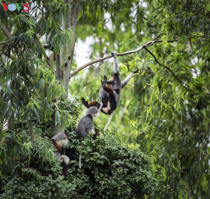 Gặp nhà báo đam mê chụp Voọc Chà vá chân nâu Sơn Trà - ảnh 12