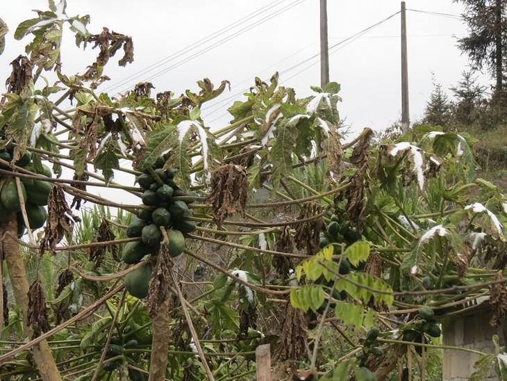 Жители уезда Меовак борются с морозом - ảnh 4