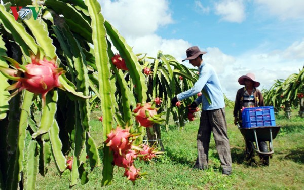 В провинции Биньтхуан выращивают экологически чистые драконьи фрукты  - ảnh 1