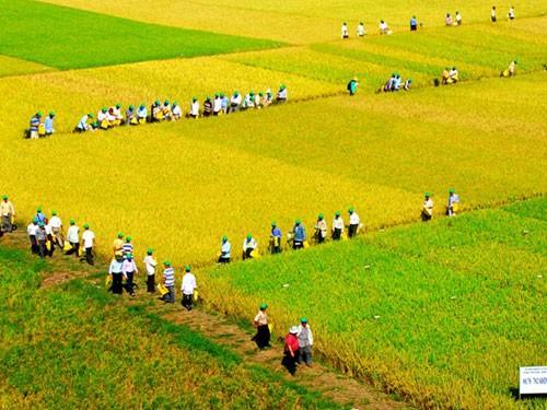 """Die wirtschaftliche Effektivität des Modells """"große Felder"""" in Yen Bai - ảnh 1"""