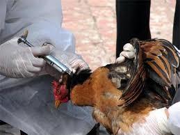 Vietnam wird Impfstoff gegen Vogelgrippevirus H5N1 herstellen - ảnh 1