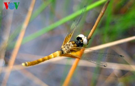 Einzigartige Heide-Libellen in Zentralvietnam - ảnh 9