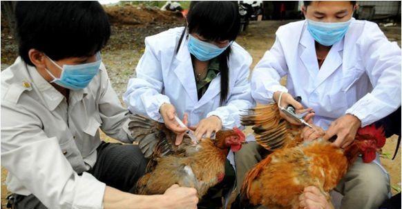 ผลักดันงานด้านการป้องกันโรคไข้หวัดนกสายพันธุ์ใหม่ H7N9 - ảnh 1