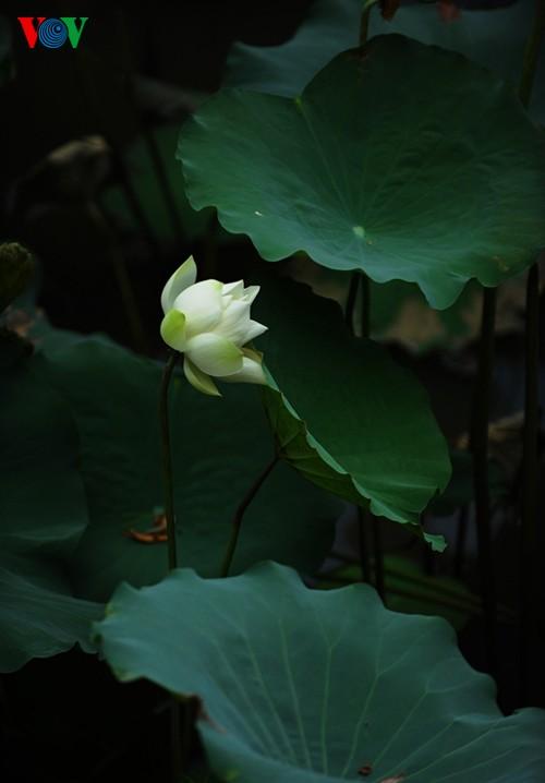 Приезжаем в Хюэ полюбоваться цветами лотоса - ảnh 3