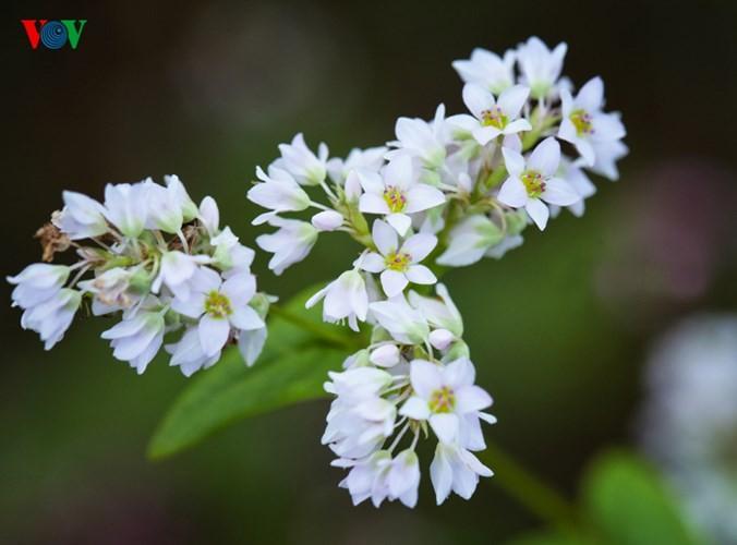 Красота цветков гречихи в горных районах Вьетнама - ảnh 5