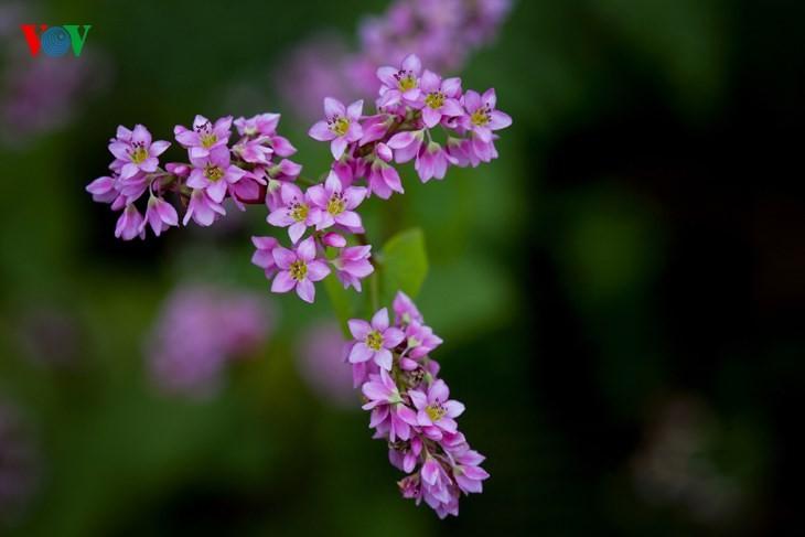 Красота цветков гречихи в горных районах Вьетнама - ảnh 7