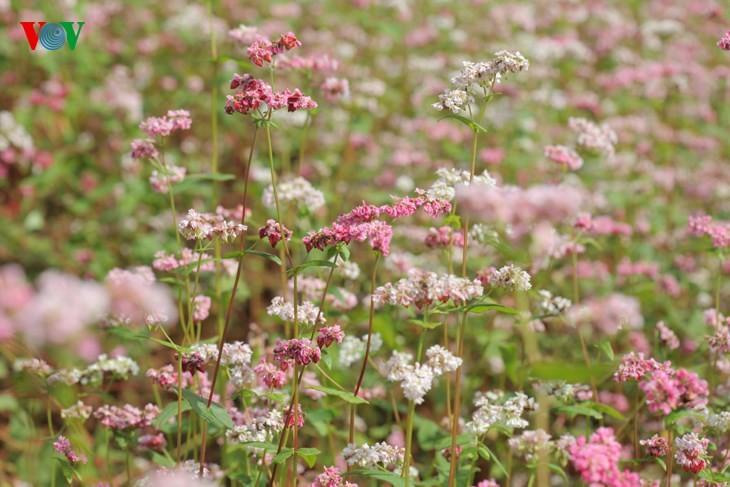 Красота цветков гречихи в горных районах Вьетнама - ảnh 15