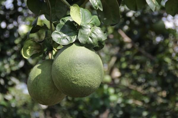 Выращивание помело «зясань» способствует строительству новой деревни в Бенче - ảnh 4