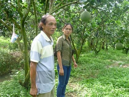 Выращивание помело «зясань» способствует строительству новой деревни в Бенче - ảnh 1