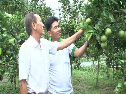 Крестьяне уезда Фунгхиеп провинции Хаузянг взаимодействуют в выведении апельсинов «соан» на рынок - ảnh 1