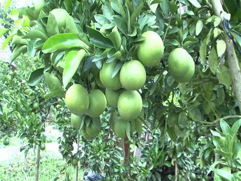 Крестьяне уезда Фунгхиеп провинции Хаузянг взаимодействуют в выведении апельсинов «соан» на рынок - ảnh 2