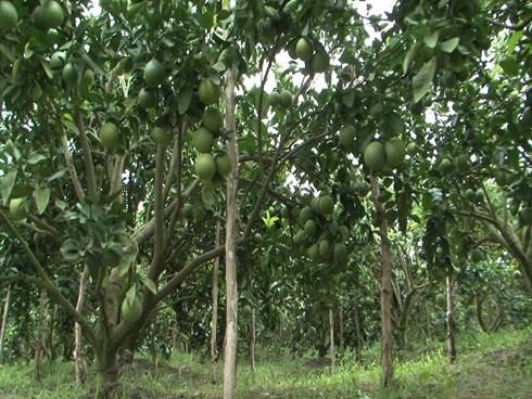 Крестьяне уезда Фунгхиеп провинции Хаузянг взаимодействуют в выведении апельсинов «соан» на рынок - ảnh 3