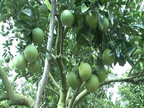 Крестьяне уезда Фунгхиеп провинции Хаузянг взаимодействуют в выведении апельсинов «соан» на рынок - ảnh 4