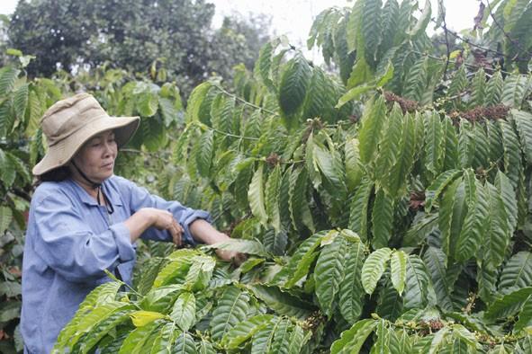 Устойчивое производство кофе в провинции Даклак - ảnh 1