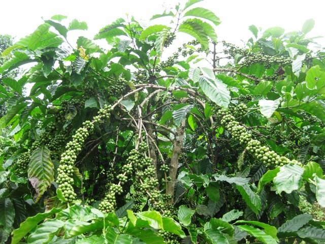 Устойчивое производство кофе в провинции Даклак - ảnh 3