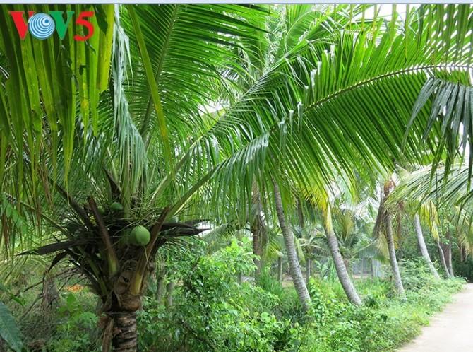 Кокосовые пальмы в провинции Бенче - ảnh 1