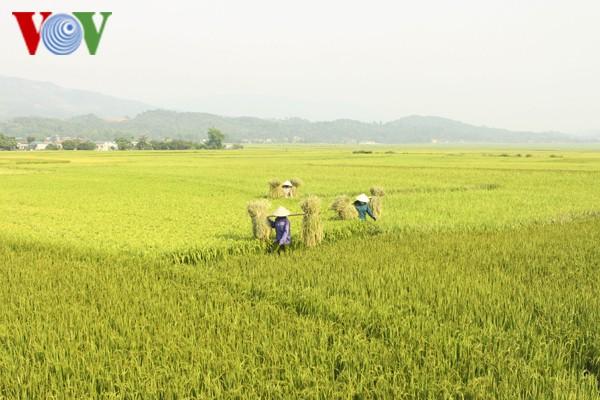 Vietnam figurará entre los cinco mayores productores de arroz en 2017 - ảnh 1