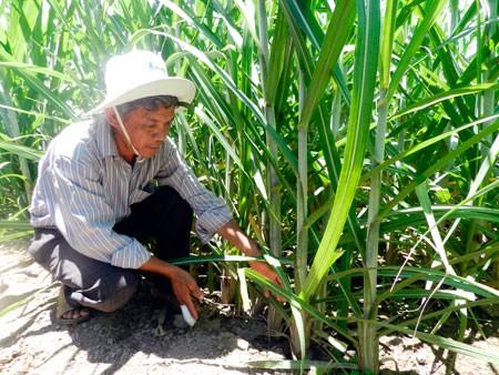 Hâu Giang: des foyers agricoles d'élite - ảnh 1