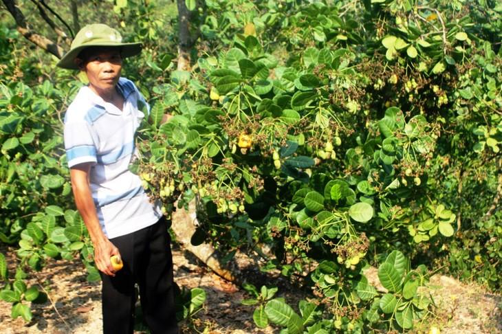 Binh Phuoc : développement durable de la filière noix de cajou - ảnh 1