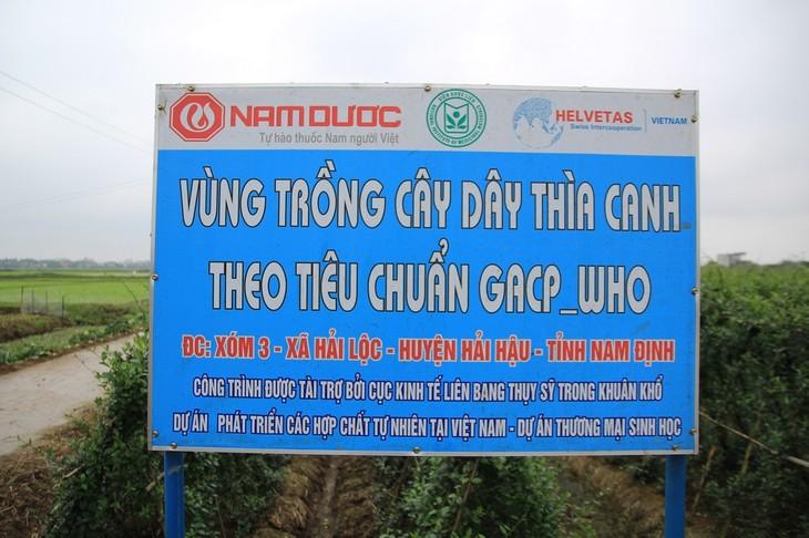 រូបសណ្ឋានដាំថ្នាំបុរាណស្អាតតាមស្តងដាអន្តរជាតិនៅស្រុក Hai Hau ខេត្ត Nam Dinh  - ảnh 1